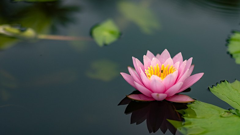Pink lotus on pond.