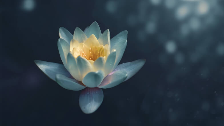 White lotus on dark pond.